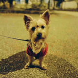 2 year old male yorkie